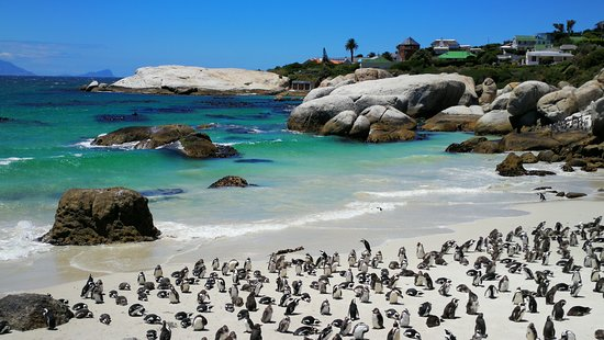 boulders-beach-penguin