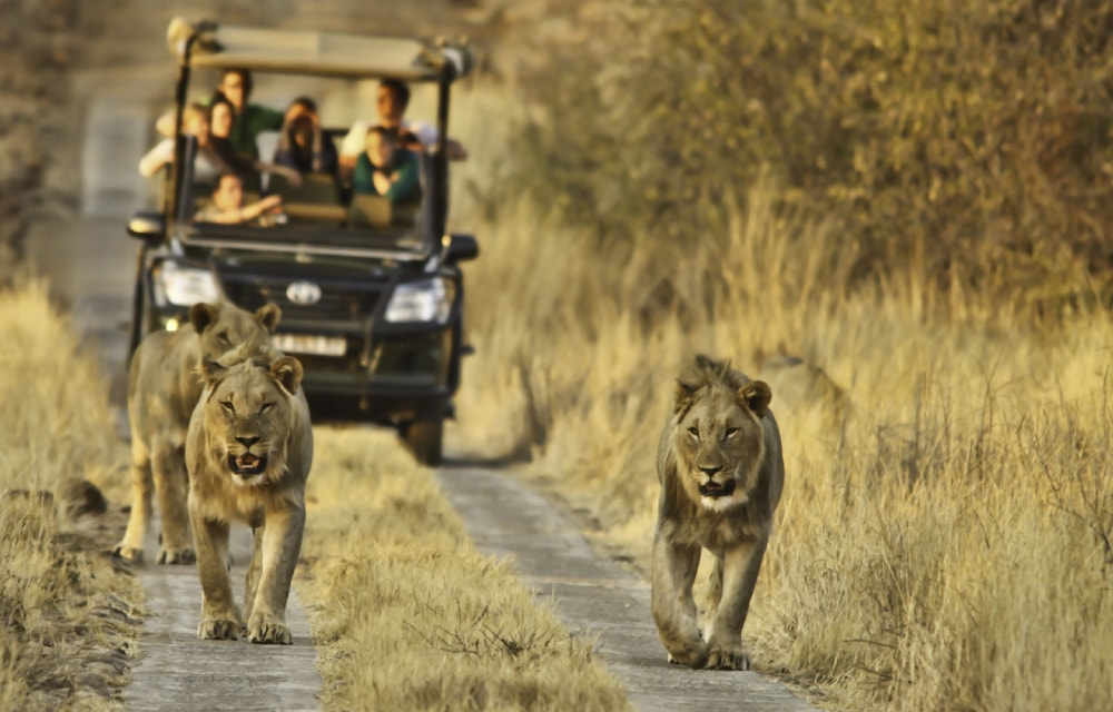 kruger-national-park-south-africa-safari-game-drive-lions